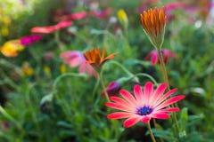 Rosafarbenes afrikanisches Gänseblümchen Stockbild