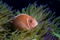 Rosafarbenes Anemonefish Stockfoto