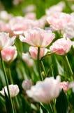 Rosafarbenes Blumenfeld Stockfoto