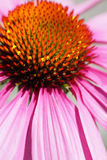 Rosafarbenes Blumenmakro Lizenzfreies Stockbild