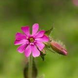 Rosafarbenes Blumenmakro Lizenzfreie Stockfotos