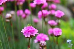 Rosafarbenes Blumenmakro stockbilder