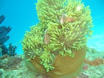 Rosafarbenes clownfish Amphiprion perideraion Stockbild