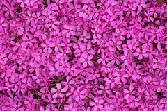 Rosafarbenes Dianthus ameria Stockbild