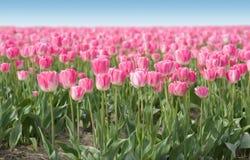 Rosafarbenes Feld der Tulpen Lizenzfreie Stockbilder