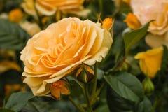 Rosafarbenes flowerhead und Knospen des Königinbernsteines Lizenzfreies Stockfoto