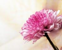 Rosafarbenes Gänseblümchen Stockfotografie