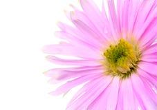 Rosafarbenes Gänseblümchen Stockbild