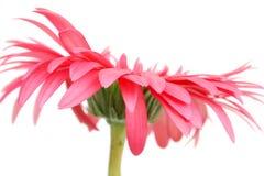 Rosafarbenes Gänseblümchen Stockfotos