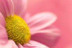 Rosafarbenes Gänseblümchenmakro Stockbild