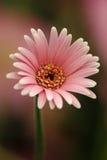 Rosafarbenes Gerber Gänseblümchen Stockfotos