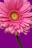Rosafarbenes Gerbera-Gänseblümchen Stockbild
