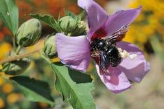 Rosafarbenes hibiskus und Fliege Lizenzfreies Stockfoto