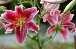 Rosafarbenes Lillies Stockfotos