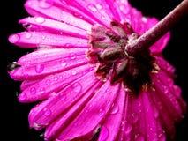 Rosafarbenes/malvenfarbenes Gänseblümchen Lizenzfreies Stockfoto