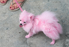 Rosafarbenes Pomeranian Haustier Stockfotografie