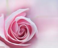 Rosafarbenes Rosen-Makro Stockbilder