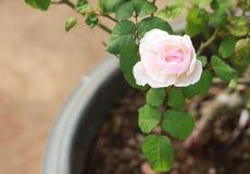 Rosafarbenes schönes stieg Stockbilder