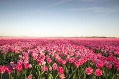 Rosafarbenes Tulpe-Feld Stockfoto