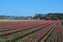 Rosafarbenes Tulpe-Feld Lizenzfreie Stockfotos