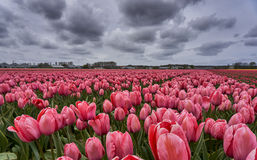 Rosafarbenes Tulpe-Feld Stockfotos