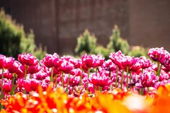 Rosafarbenes Tulpefeld Playnig mit Leuchte Lizenzfreie Stockfotos