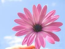 Rosafarbenes Umhanggänseblümchen Stockfotografie