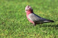 Rosafarbenes und graues galah stockbild