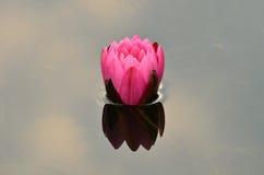 Rosafarbenes Wasser Lilly Stockfotos