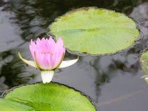 Rosafarbenes Wasser lilly lizenzfreie stockfotos