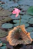 Rosafarbenes Wasser lilly Lizenzfreie Stockbilder