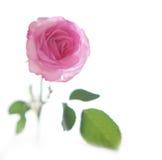Rosafarbenes Weiche stieg lizenzfreies stockbild