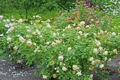 Rosaleda colorida de rosas del criador David Austin Imagen de archivo libre de regalías