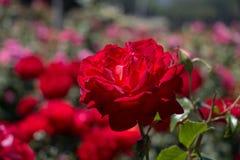 Rosaleda con las rosas frescas hermosas Fotografía de archivo libre de regalías