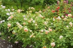 Rosaleda con las rosas multicoloras Imágenes de archivo libres de regalías
