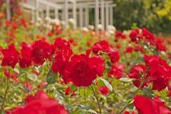 Rosaleda con las rosas rojas Imagenes de archivo