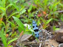 Rosalia Alpina - scarabeo protettivo Fotografia Stock Libera da Diritti