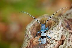 Rosalia Longicorn, Rosalia alpina, in the nature green forest habitat, sitting on the green larch, Czech republic, longhorn beetle Royalty Free Stock Image