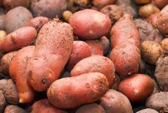 Rosamunda potatoes Royalty Free Stock Images