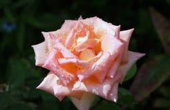 Rosarose. Lizenzfreie Stockbilder