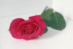 Rosarose auf einem hellen Hintergrund Stockfoto