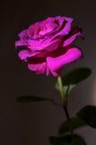 Rosarose auf einem schwarzen Hintergrund Lizenzfreie Stockfotos