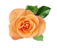 Rosarose closup auf Weiß lizenzfreies stockbild