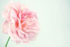 Rosarose in der weichen Farb- und Unschärfeart Lizenzfreie Stockfotos