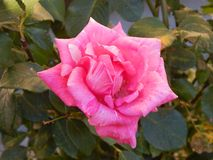 Rosarose in Gheorgheni lizenzfreies stockbild