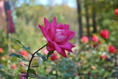 Rosarose im Fokus Lizenzfreie Stockbilder