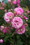 Rosarose im Garten Stockbild