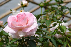 Rosarose im Park Stockfoto