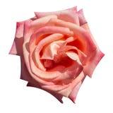 Rosarose lokalisiert Stockbild
