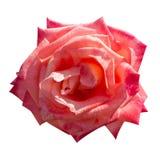 Rosarose lokalisiert Lizenzfreies Stockfoto
